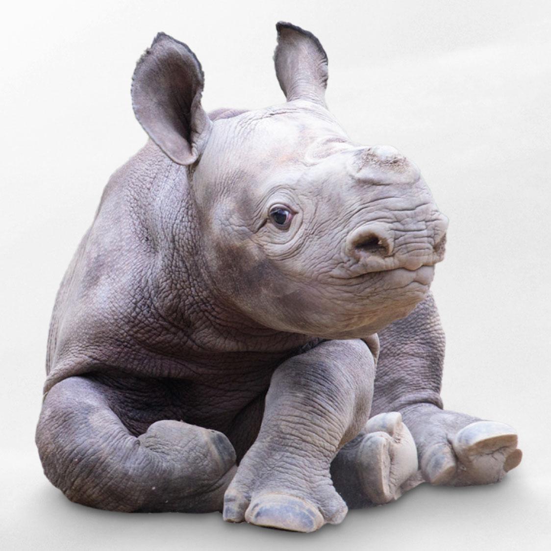 Cincinnati Zoo Rhino